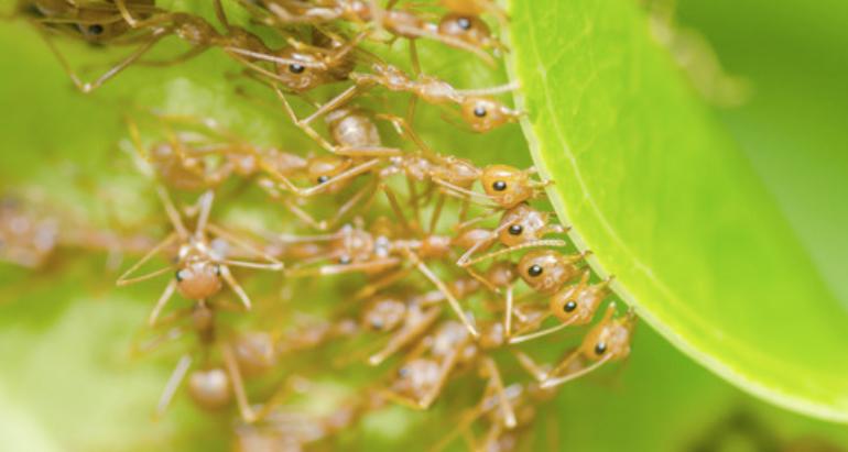 Little Fire Ants/Ants